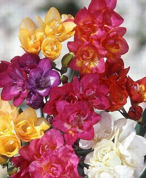 Freesia_Double_Mixed