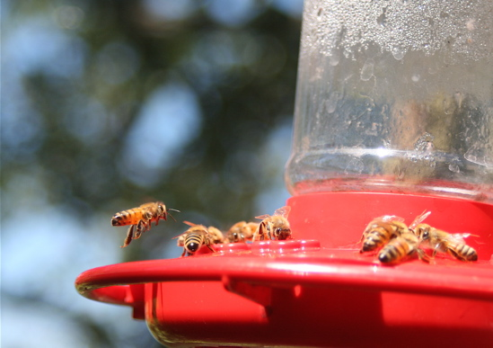 Bees at hummingbird feeder 2