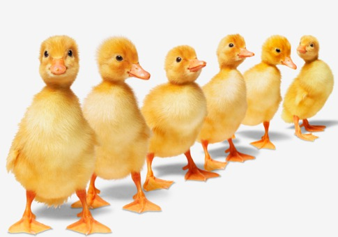 1221_jargon-ducks-in-a-row_485x340
